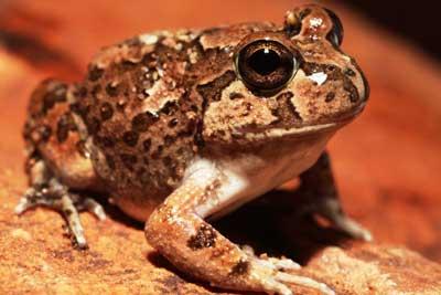 Spencer's burrowing frog