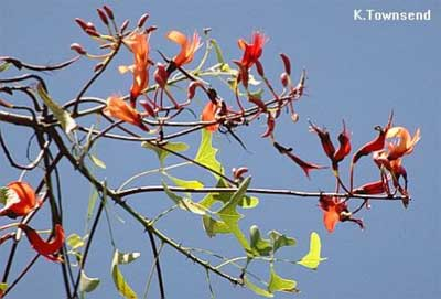Bean batwing coral tree
