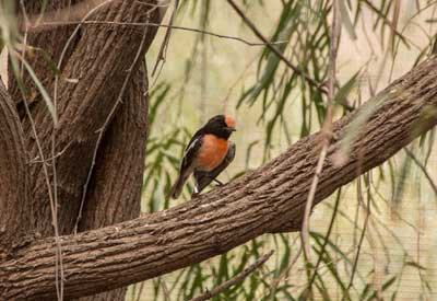 Red-capped robin