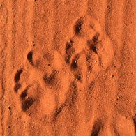 Animal tracks in red dirt