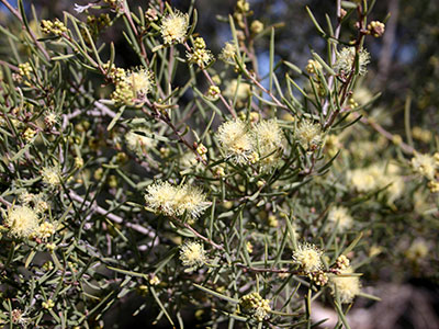 Desert honey myrtle or inland tea tree