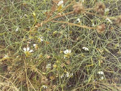 Tangled lechenaultia