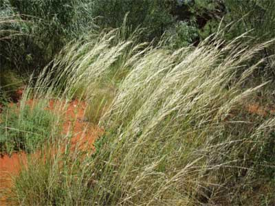 Feathertop spinifex