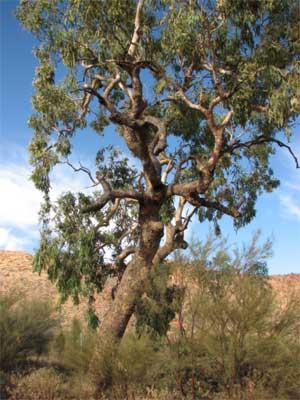 Desert bloodwood
