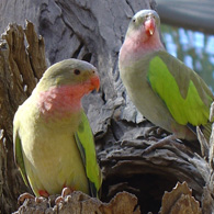 Close up picture of two Princess Parrots in a trees