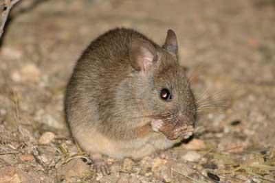 Greater stick nest rat