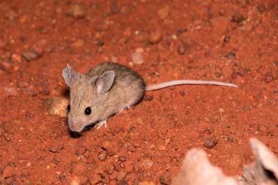 Plains rat