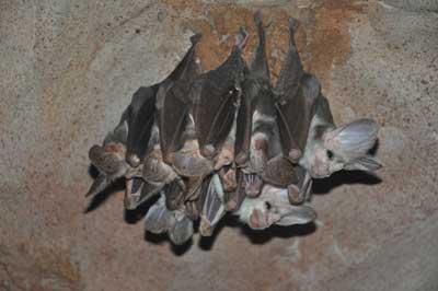 Ghost bat