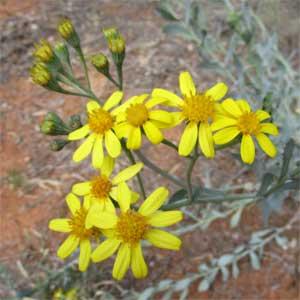 Perennial yellow top