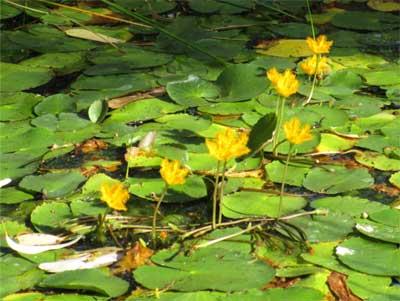 Wavy marshwort