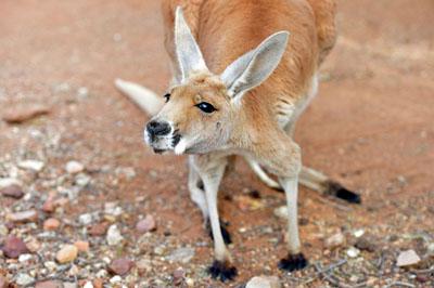 Curious kangeroo