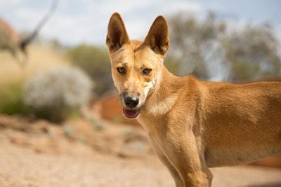 Smiling dingo