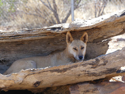 Dingo hiding in log